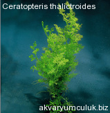 Ceratopteris thalictroides
